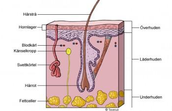hjelper collagen mot rynker og slapp hud